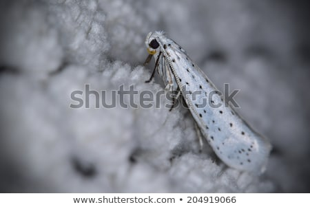 Bird-cherry ermine moths Stock photo © Stocksnapper