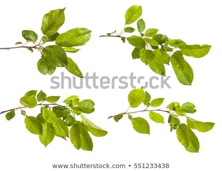 Yeşil yaprak bir yalıtılmış beyaz Stok fotoğraf © boroda