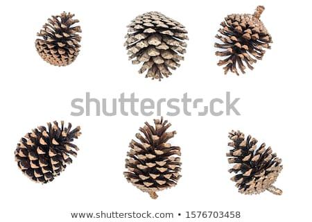 Szett különböző fenyők fajok mérleg erdő Stock fotó © snyfer