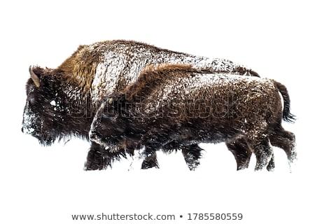 Bison in Winter snow Stock photo © emattil