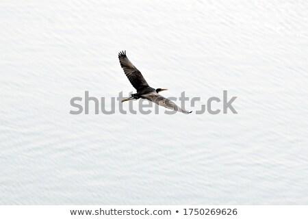 Westerse reiger vlucht water natuur Blauw Stockfoto © davemontreuil