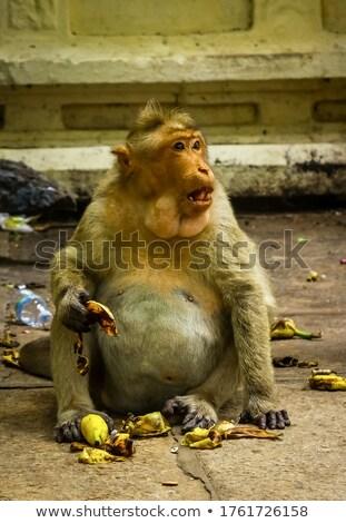 Adult macaque monkey sitting eating fruit Stock photo © juniart