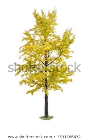 isolated ginkgo tree on a white background Stock photo © Zerbor