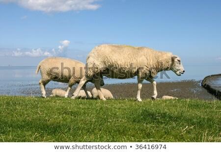 羊 徒歩 海 水 動物 ストックフォト © peter_zijlstra