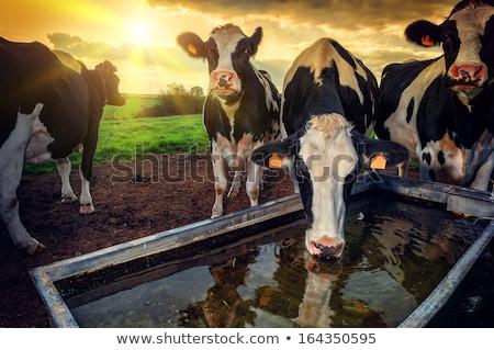 Vache eau potable potable pur montagne écouter Photo stock © ldambies