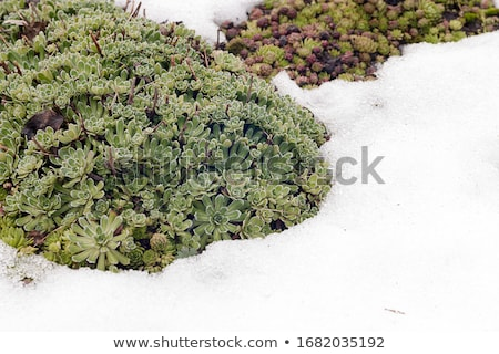 The first snowdrops among thawing snow  stock photo © inoj