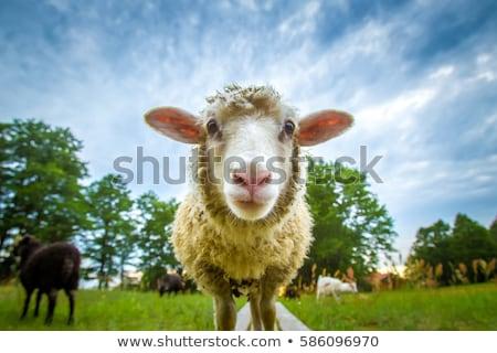 白 · 子羊 · 徒歩 · 春 · 緑 · 草原 - ストックフォト © ivonnewierink