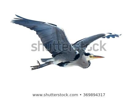 isolated grey heron in flight Stock photo © taviphoto