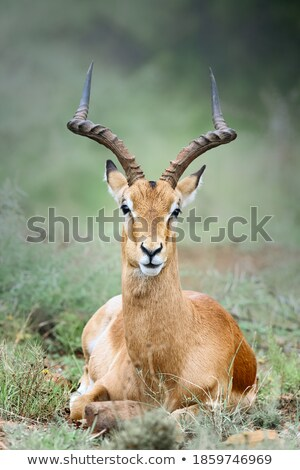 Impala laying down in the Kruger. Stock photo © simoneeman