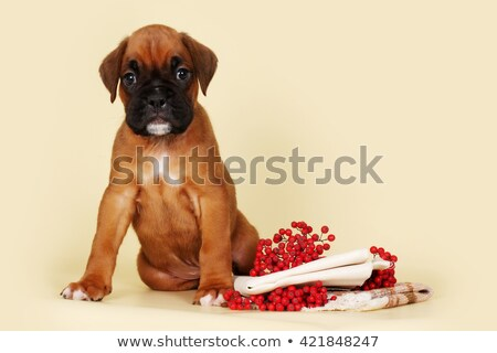 Red puppy breed boxer sits on a beige background Stock photo © goroshnikova