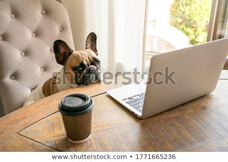 Französisch Bulldogge Sitzung Laptop weiß isoliert Stock foto © OleksandrO