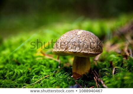 Boletus boschi foresta autunno paese caduta Foto d'archivio © glorcza