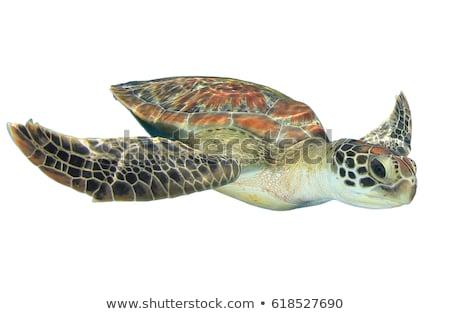 Verde mar tartaruga branco ilustração concha Foto stock © bluering