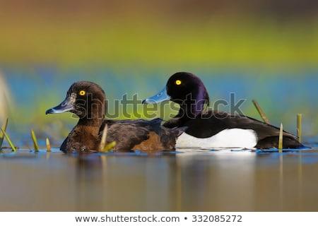 カップル 池 スイミング 一緒に 水 自然 ストックフォト © taviphoto