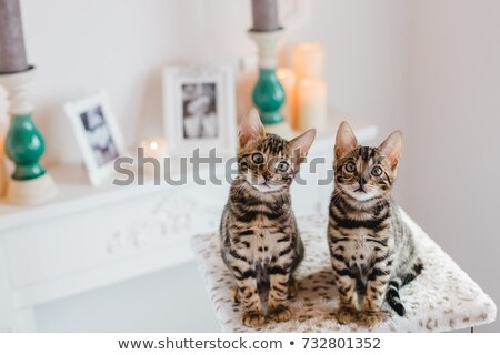Bengalski kot portret młodych bajki światła Zdjęcia stock © Lana_M