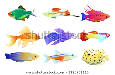 Neon tetra and swordtail fish isolated on white Stock photo © robuart