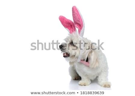 chien · isolé · gris · portrait · drôle · blanche - photo stock © feedough
