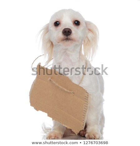 cute bichon with carton sign around neck sitting stock photo © feedough