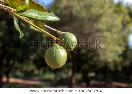Branch with Leaves and Macadamia or Maroochi Nuts Stock photo © robuart