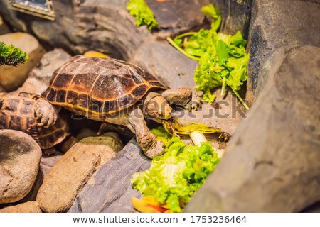 The Turtles eats vegetables in a terrarium Stock photo © galitskaya