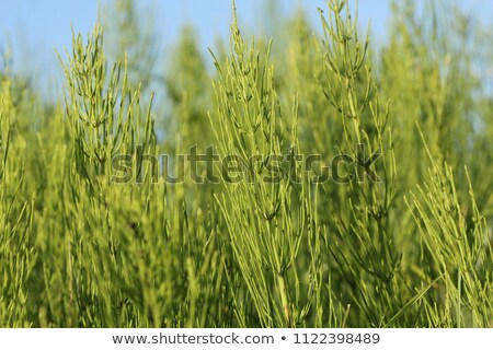 Stock photo: Equisetum arvense
