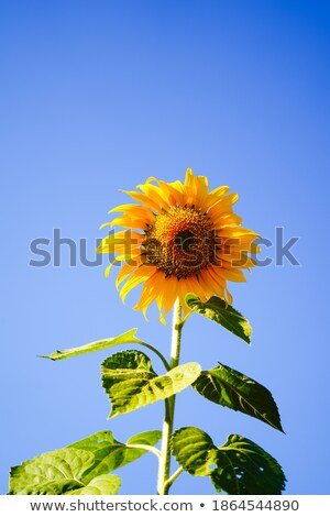 sunflowers field 09 stock photo © lianem