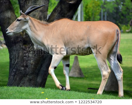 common eland tragelaphus or taurotragus oryx stock photo © ajlber