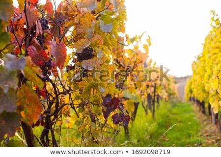 Outono vinícola belo uvas jardim Foto stock © neirfy