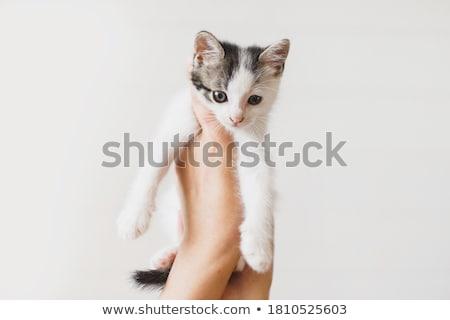 Aranyos szőrös kiscica stúdió fotó kettő Stock fotó © ajn