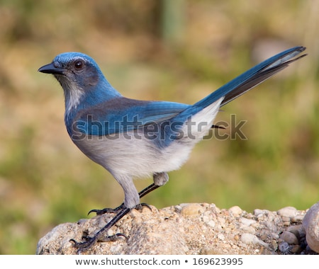 western scrub jay aphelocoma californica perched on a rock stock photo © yhelfman