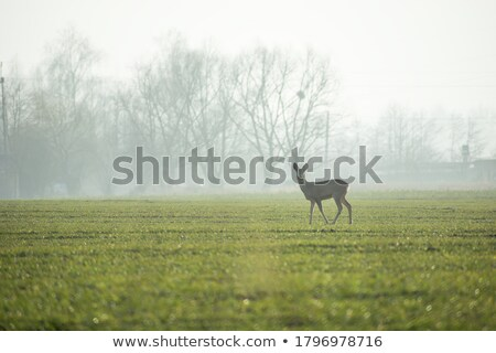 roe deer on a foggy day stock photo © taviphoto