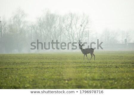 Ikra szarvas ködös nap természet mező Stock fotó © taviphoto