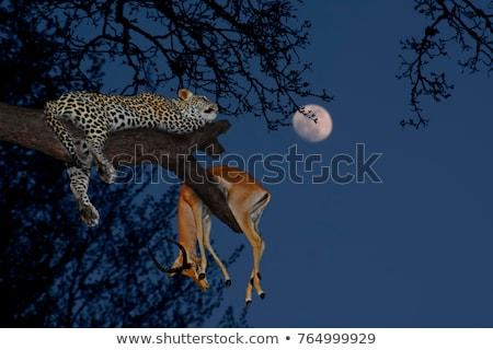 african leopard silhouette tree moon stock photo © lienkie