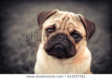 Psa tie biały odizolowany oczy portret Zdjęcia stock © OleksandrO