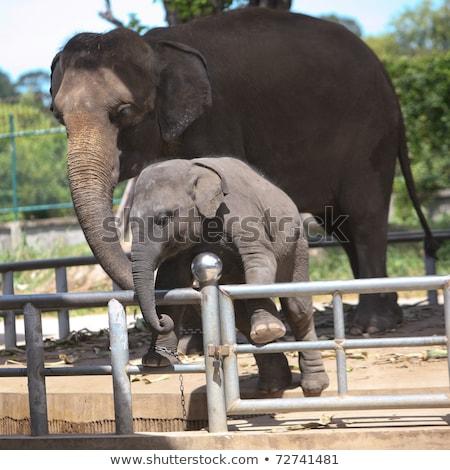 Due elefanti zoo chiedere alimentare panorama Foto d'archivio © galitskaya
