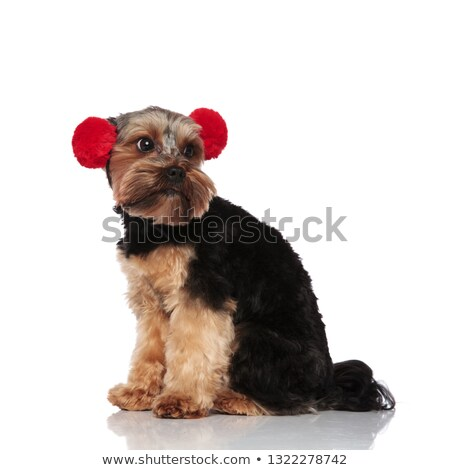 side view of curious yorkshire terrier wearing red earmuffs Stock photo © feedough