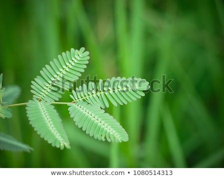 sensível · planta · verde · natureza · jardim - foto stock © galitskaya