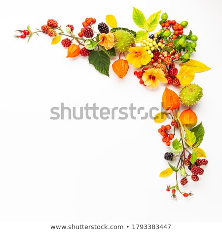 Rowan flowers on white Stock photo © AGfoto