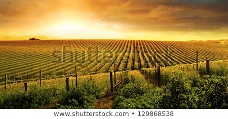 Belo vinho uva vinha manhã sol Foto stock © feverpitch