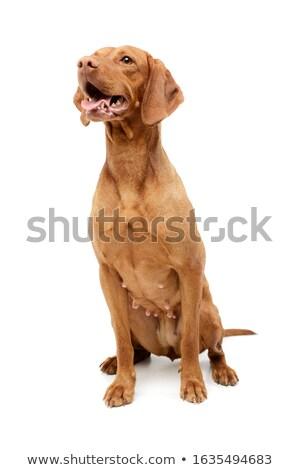 Stock foto: An Adorable Hungarian Vizsla With Hanging Tongue