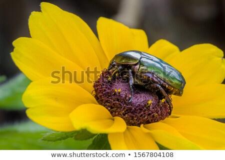 The Flower Chafer Stock photo © chrisroll