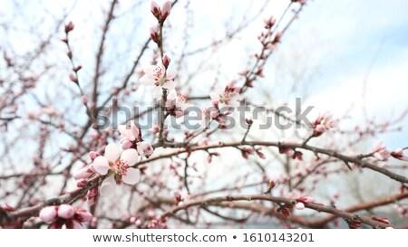 Pink peach tree in a natural garden during flowering Stock photo © ElenaBatkova