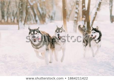 Husky perro frío temporada de invierno Foto stock © Lopolo