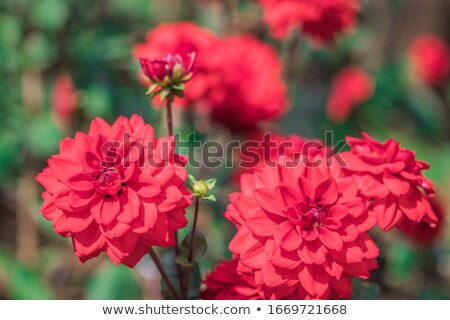 ornamental dahlia flowers from mexico stock photo © alessandrozocc