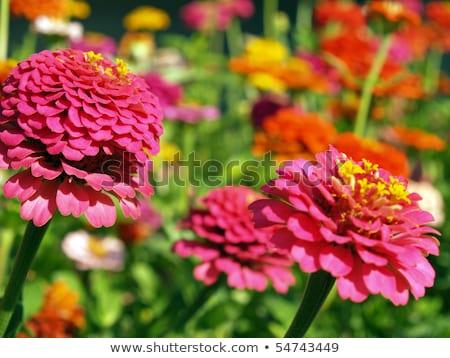 A Garden of Multi-Colored Marigolds in Full Bloom Stock photo © Frankljr