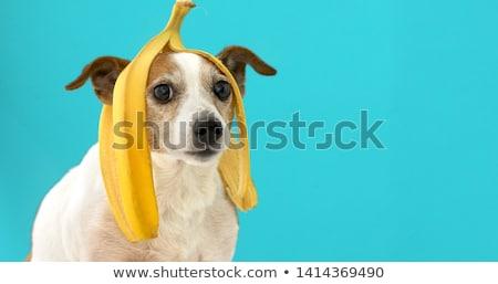 stupid dog Stock photo © Galyna