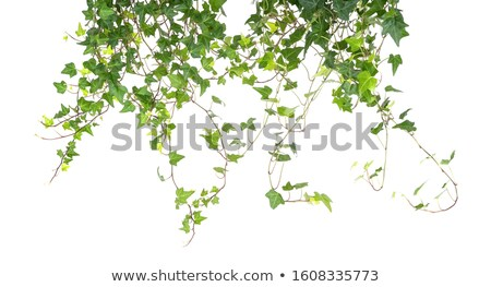 Ivy foto verde foglie utile impianto Foto d'archivio © claudiodivizia