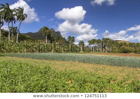 Farming Under Palmtrees On Cuba Stok fotoğraf © haraldmuc