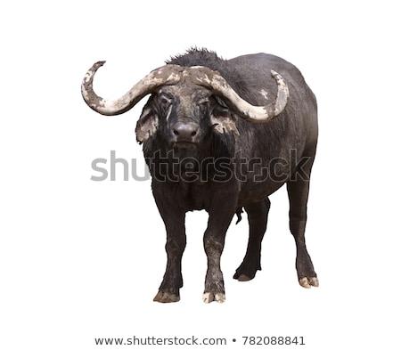 buffalo isolated Stock photo © jarp17