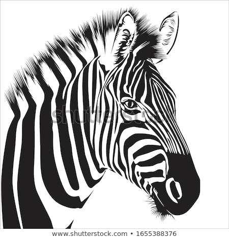 zebra head Stock photo © jonnysek